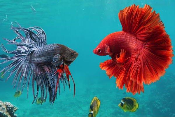 macho betta fondo peces