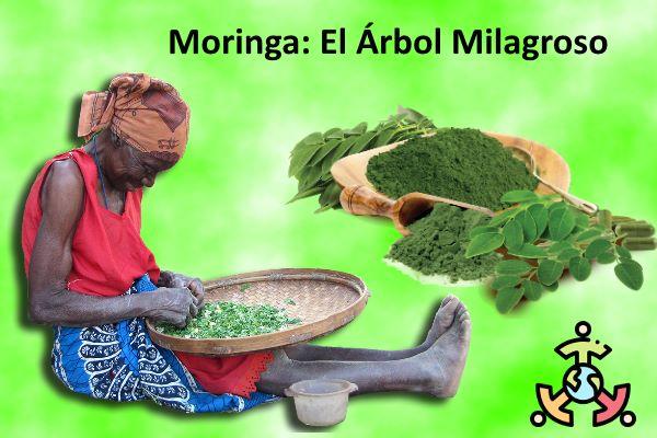 usos beneficios propiedades Moringa Oleifeira