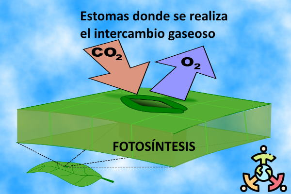 fostosintesis estomas intercambio gaseoso