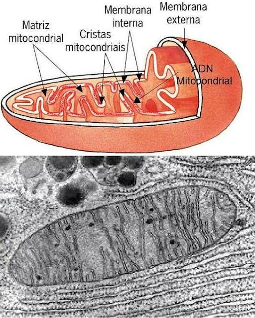 Partes de la célula humana y 8 funciones principales