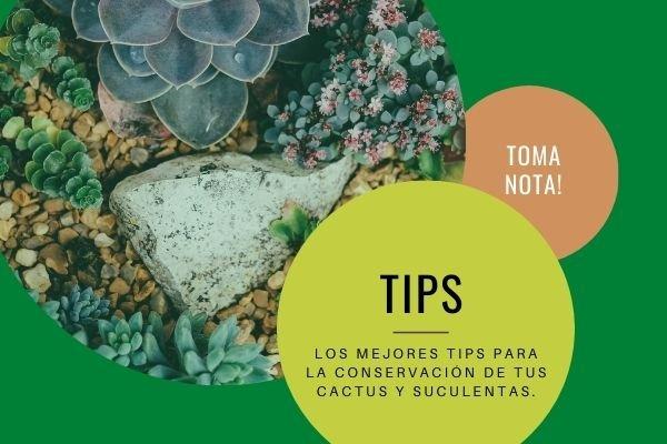 consejos cuidado suculentas cactus